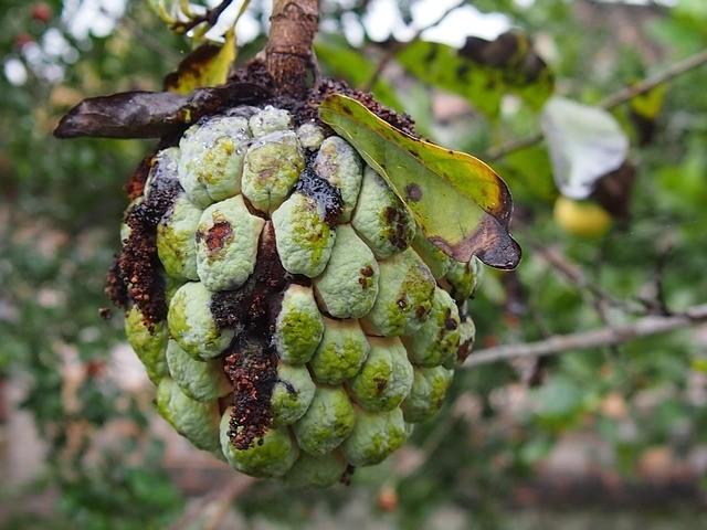hniloba na ovoci - Nejčastější nemoci rostlin v zeleninové a bylinkové zahrádce