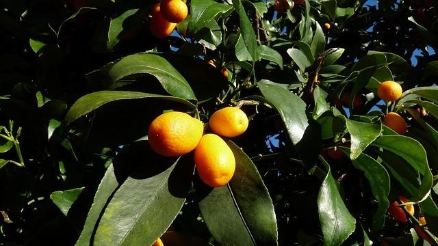 strom kumkvat - Vypěstujte si Kumkvat