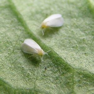molice wikipedia.org  300x300 - Nejčastější škůdci citrusů