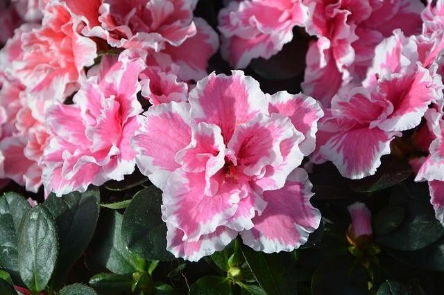 azalka - Vyberte si azalku do vaší zahrady