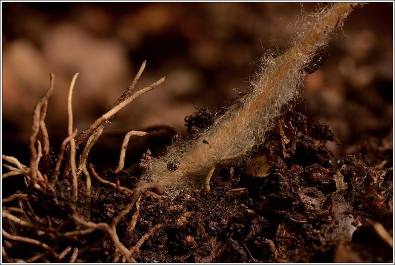 houba kořeny wikipedia - Tajemství perfektní půdy
