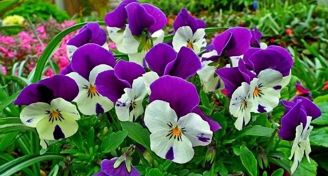 macešky - Nejkrásnější jarní květiny