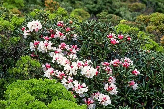 rhododendron - Jak dosáhnout bohatého kvetení rododendronů