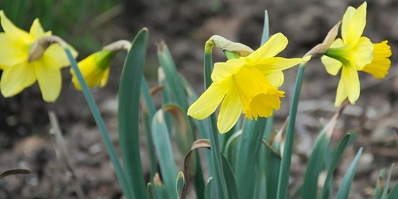 narcis - Narcis