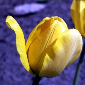 tulipán  300x300 - Tulipán