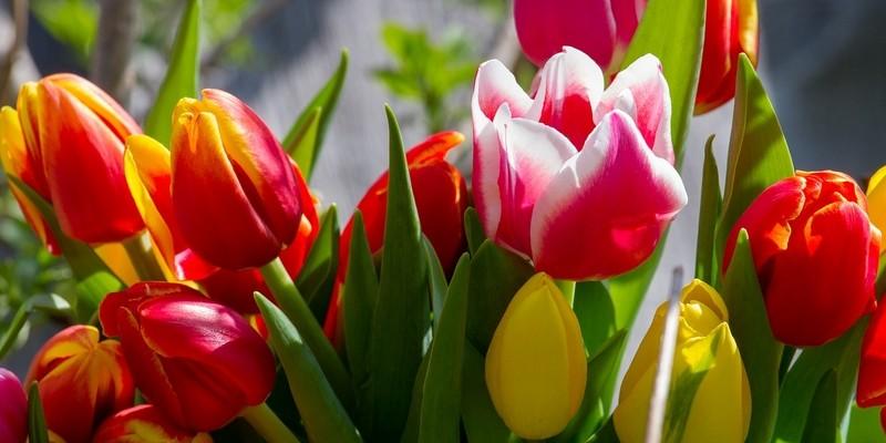 tulipán - Tulipán