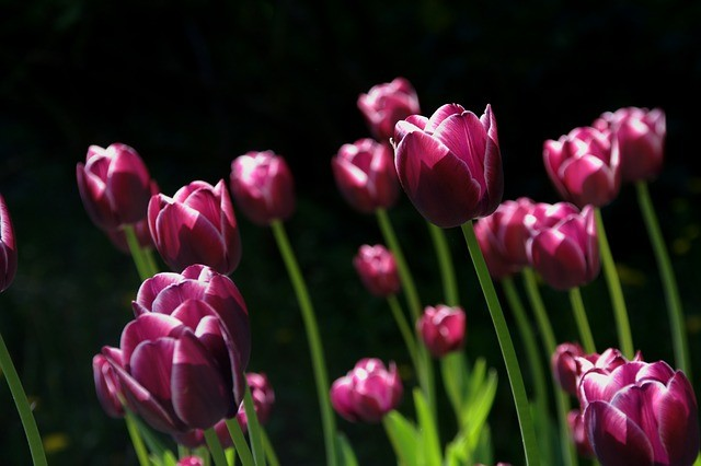 květiny tulipány - Máme pro vás pár tipů na domácí hnojiva pro kvetoucí rostliny