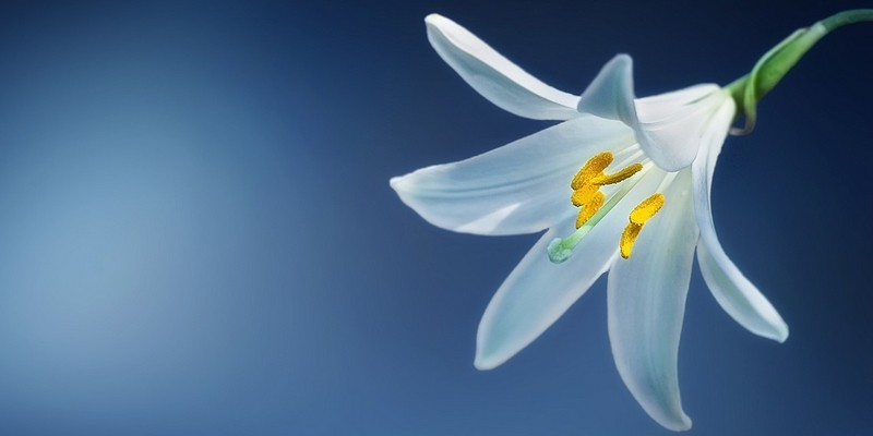 lilie 1 - Lilie