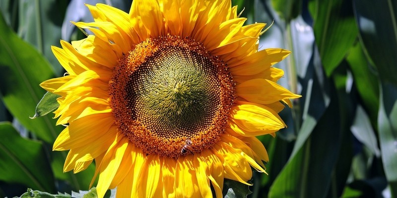 slunečnice - Slunečnice