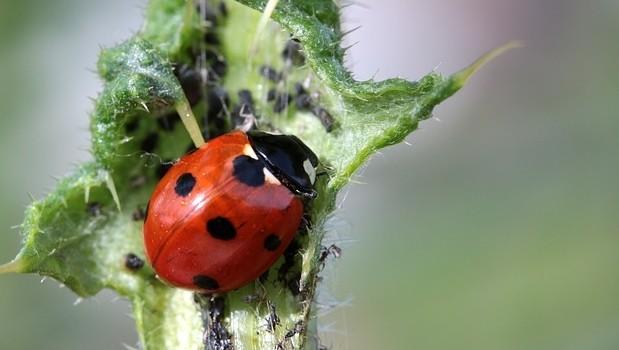 azalka škůdci - Škůdci azalek aneb zákeřní návštěvníci z říše hmyzu