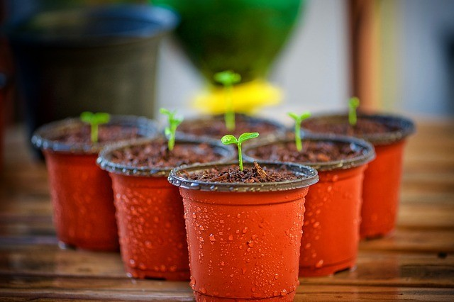 sazenice - Několik kroků, jak pěstovat rostliny ze semínek v bytě, nebo v domě