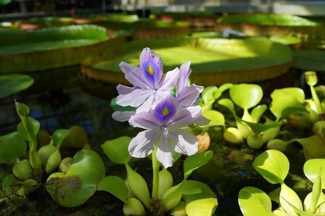 vodní hyacint 4 - Vodní prvky v zahradě se v období sucha budou hodit