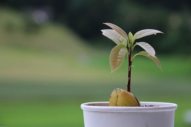 avokádo z pecky 1 - Vypěstujte si vlastní stromy avokáda