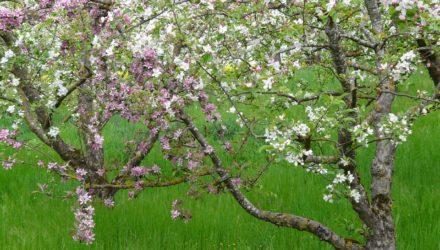 ovocný strom