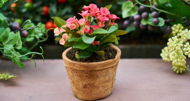 pokojové rostliny hnojení