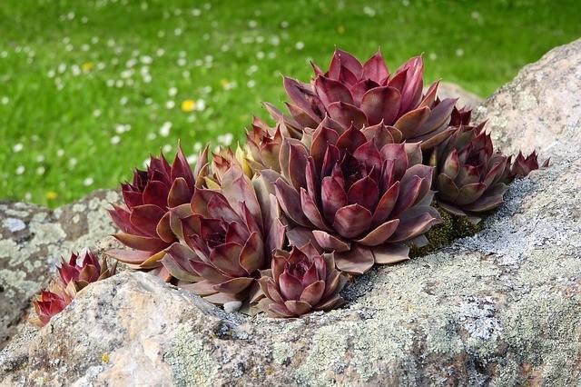 skalnička - Jak si založit na vaší zahradě skalku a jaké rostliny jsou vhodné do skalek