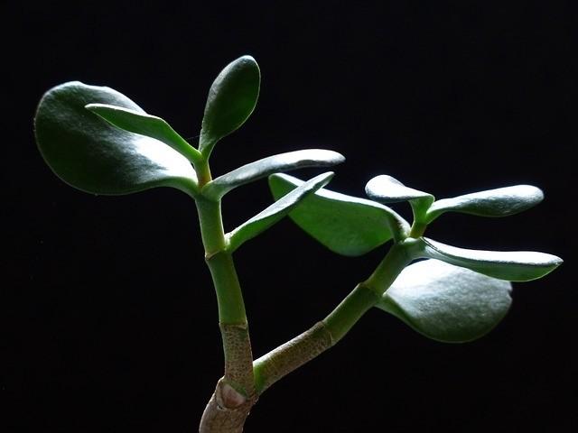 tlustice terárko - Rostliny do terária