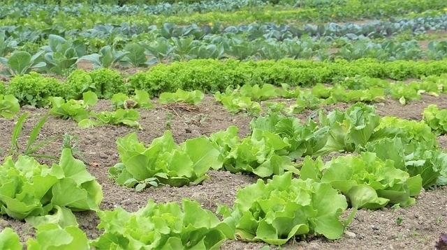 záhon zeleniny č - Jaké rostliny nepěstovat společně. Rostliny u sebe chřadnou
