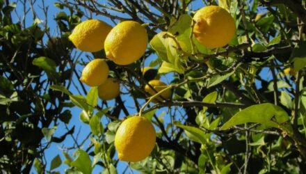 citronovnik