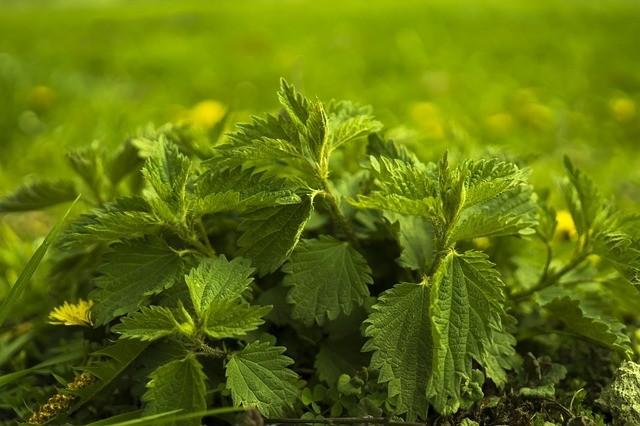 kopřiva - Jarní detoxikace organismu pomocí bylinek