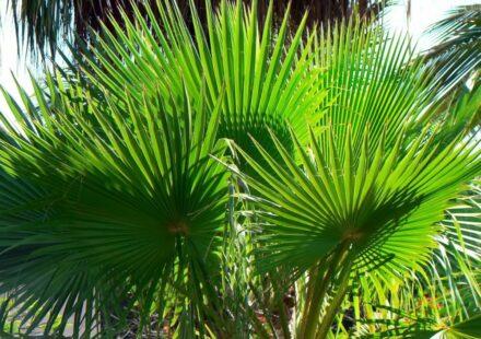 palma washingtonia