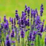 lavender 1117275 640 150x150 - Databáze bylinek