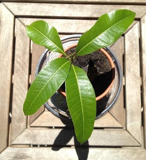 mango 329436 640 - Vypěstujte si mango z pecky