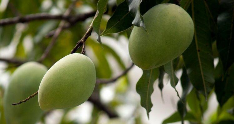 mango tree 164973 1280