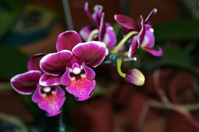 orchie - Jak to udělat, aby nám orchidej za oknem opakovaně vykvetla