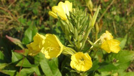 pupalka dvouletá květ