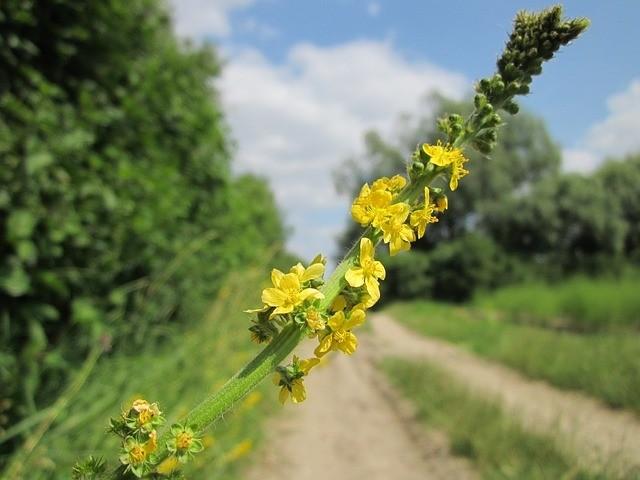 epík žlučník - Nejlepší bylinky na léčbu žlučníku