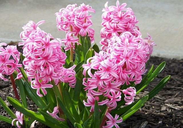 hiacint - Jaké květiny zasadit na zahradu, aby kvetla od jara do podzimu