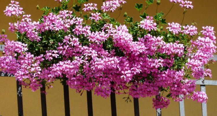 květina v truhlíku