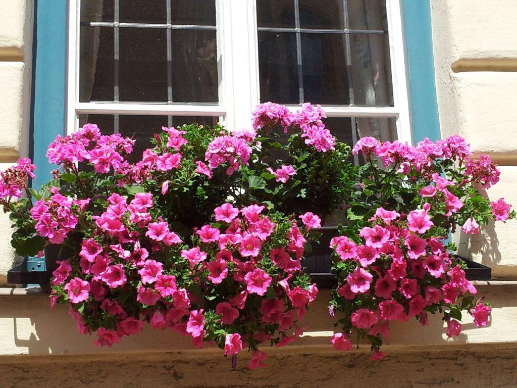 petůnie truhlík 1024x768 - Nejkrásnější květiny do truhlíků. Jaký máme výběr?