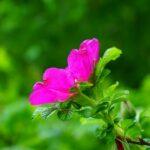 růže šípková 150x150 - Databáze bylinek
