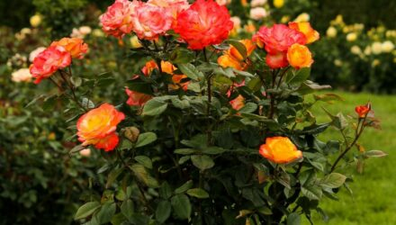 růže na kmínku