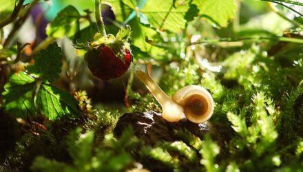 hlemížď zahradní t