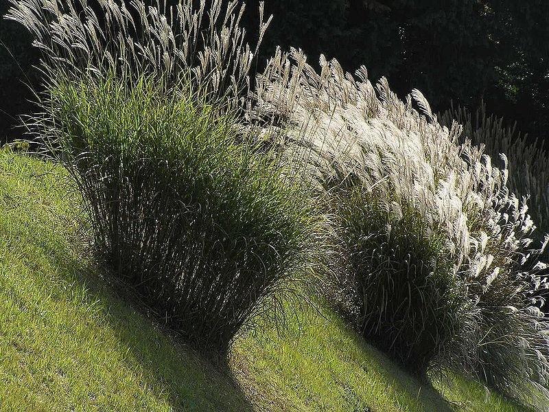 ozdobnice čínská wikipedia - Jaké máme zajímavé ozdobné trávy do zahrady
