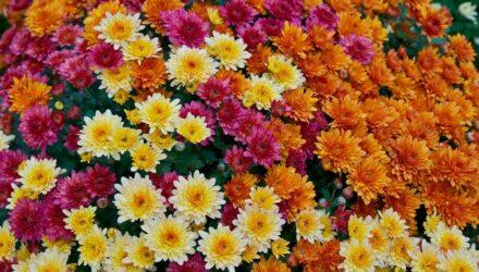 chryzantéma t wikiwand.com 1