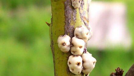 ervci nemoc rostlin t wikipedia 440x250 - sazenicka.cz