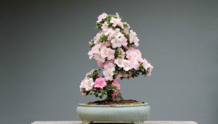 bonsai azalka