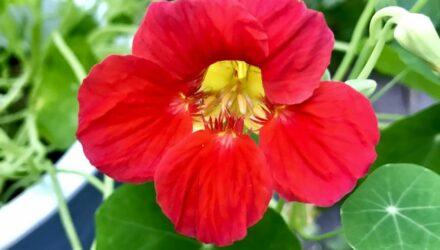 lichořeřišnice květ