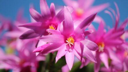 vánoční kaktus květy