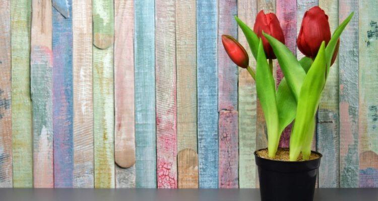 pěstovat tulipány