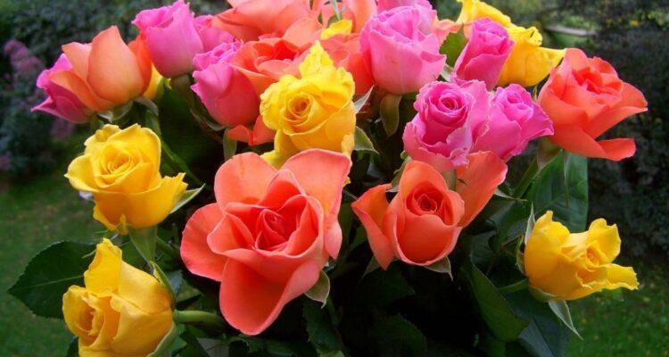 ezané růže