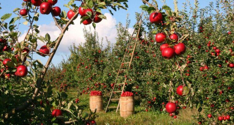 jabloň sad