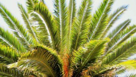 palma datlomá t 440x250 - Jak si vypěstovat datlovou palmu z pecky