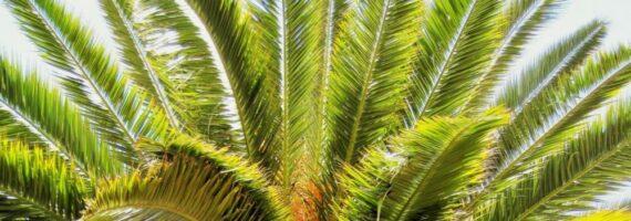 palma datlomá t 570x200 - Jak si vypěstovat datlovou palmu z pecky