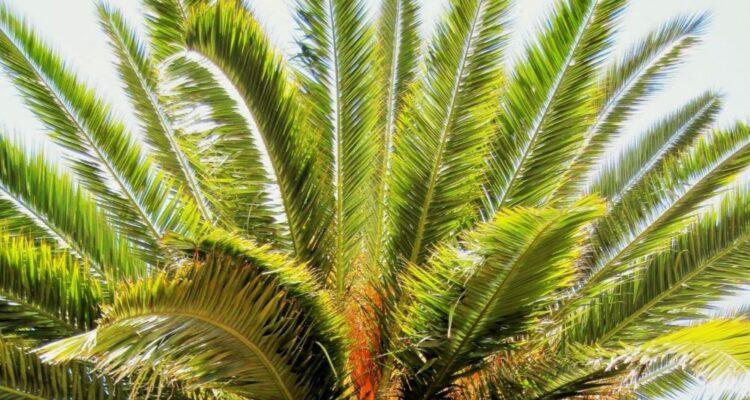 palma datlomá t 750x400 - Jak si vypěstovat datlovou palmu z pecky