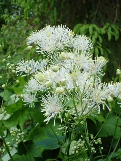luťucha wikimedia - Proč květy žluťuchy po otevření okamžitě opadají